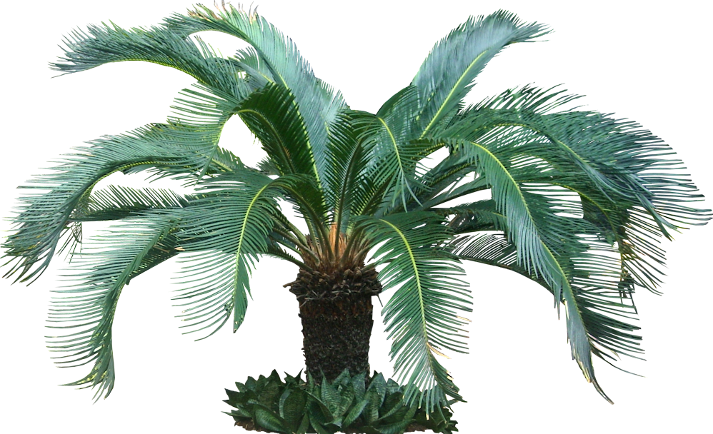 Free High Resolution graphics and clip art: tropical tree png.