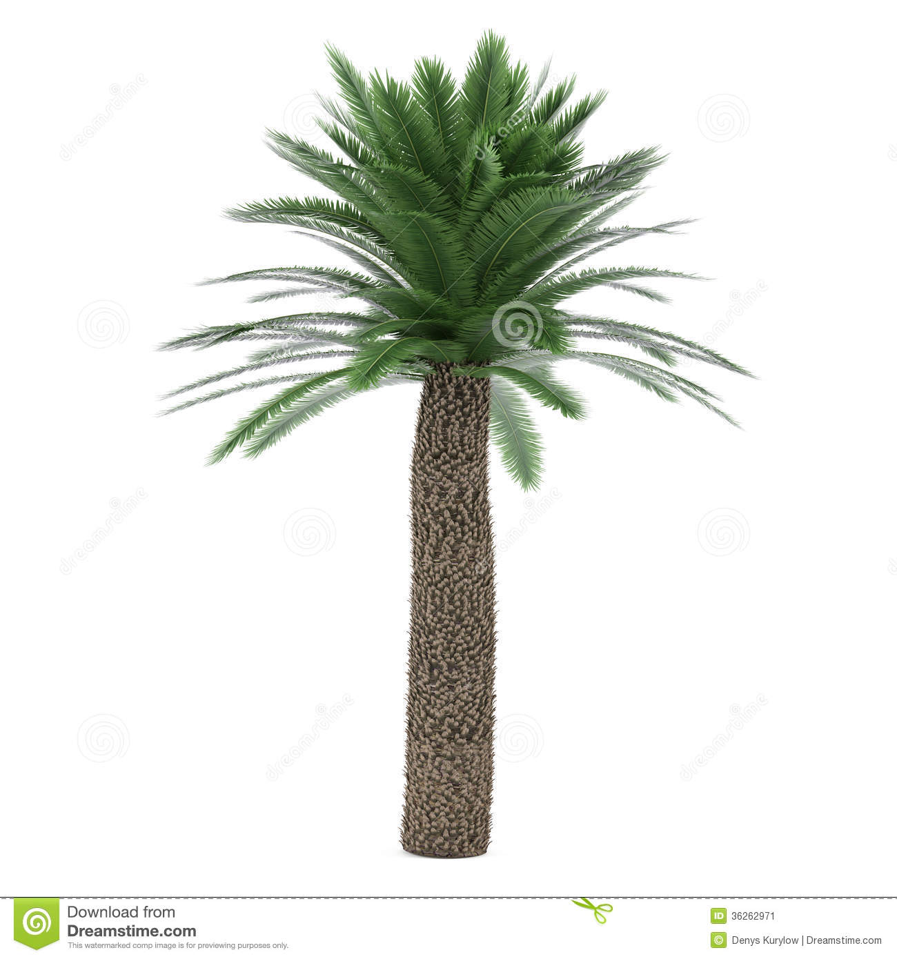 Cycas Stock Illustrations.