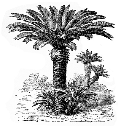 Sago Palm Clip Art, Vector Images & Illustrations.