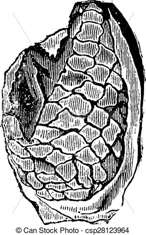 Clip Art Vector of Fruits of cycads, petrified, vintage engraving.