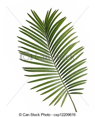 Gallery For > Cycad Clipart.