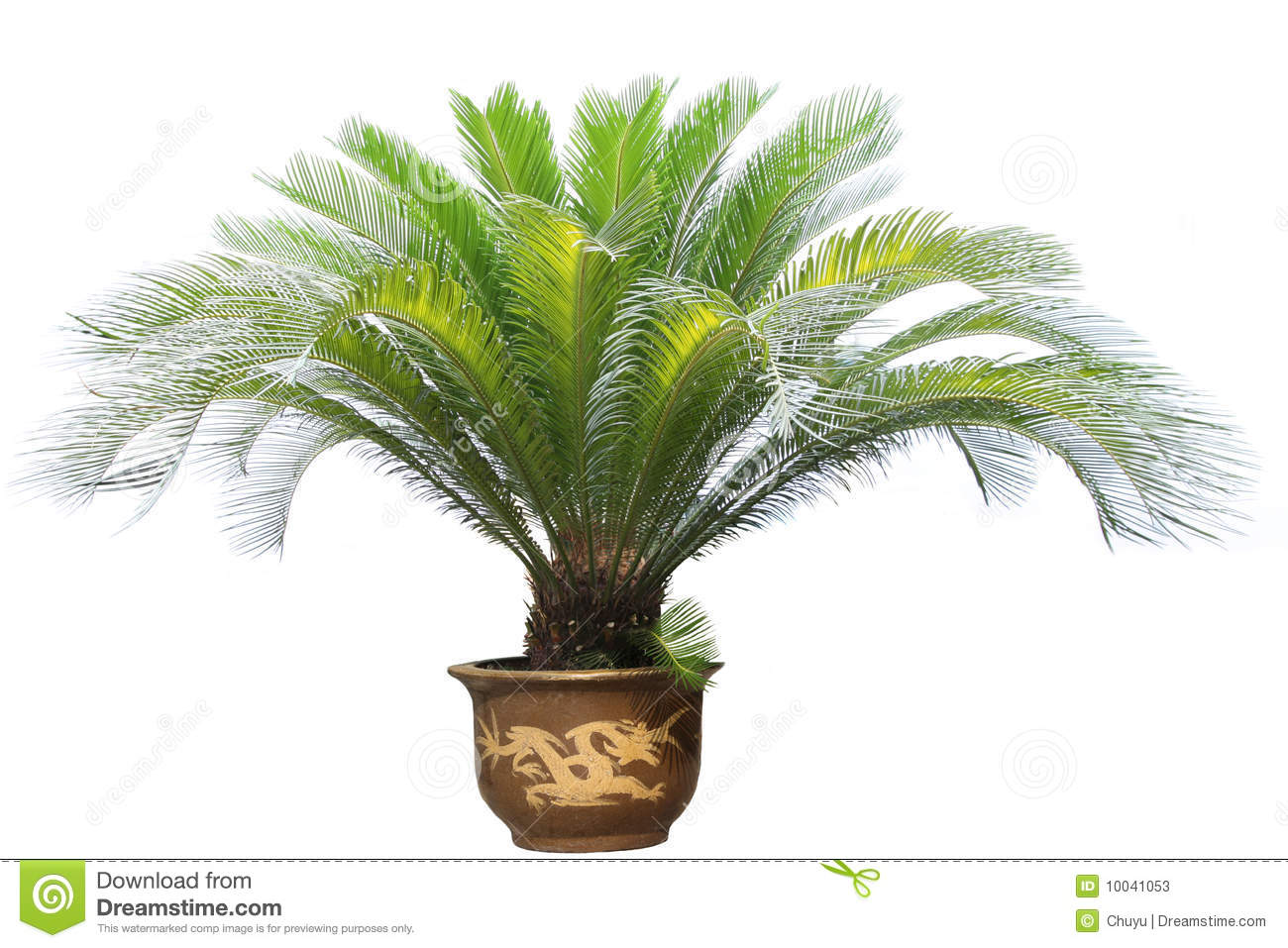 Cycad Stock Photos, Images, & Pictures.