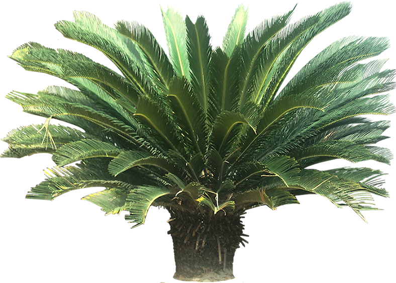 Tropical Plant Pictures: Cycads.