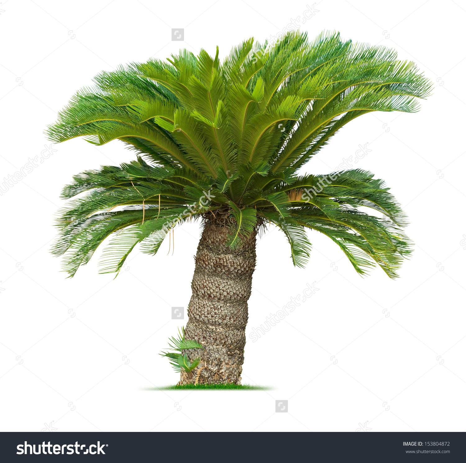 Cycad Palm Tree Isolated On White Stock Photo 153804872.