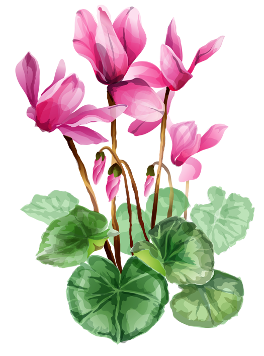 1000+ images about Cyclamen on Pinterest.