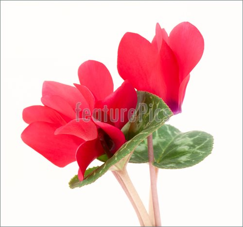 Gallery For > Cyclamen Flowers Clipart.