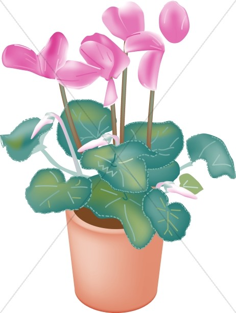 Potted Cyclamen Orchids.