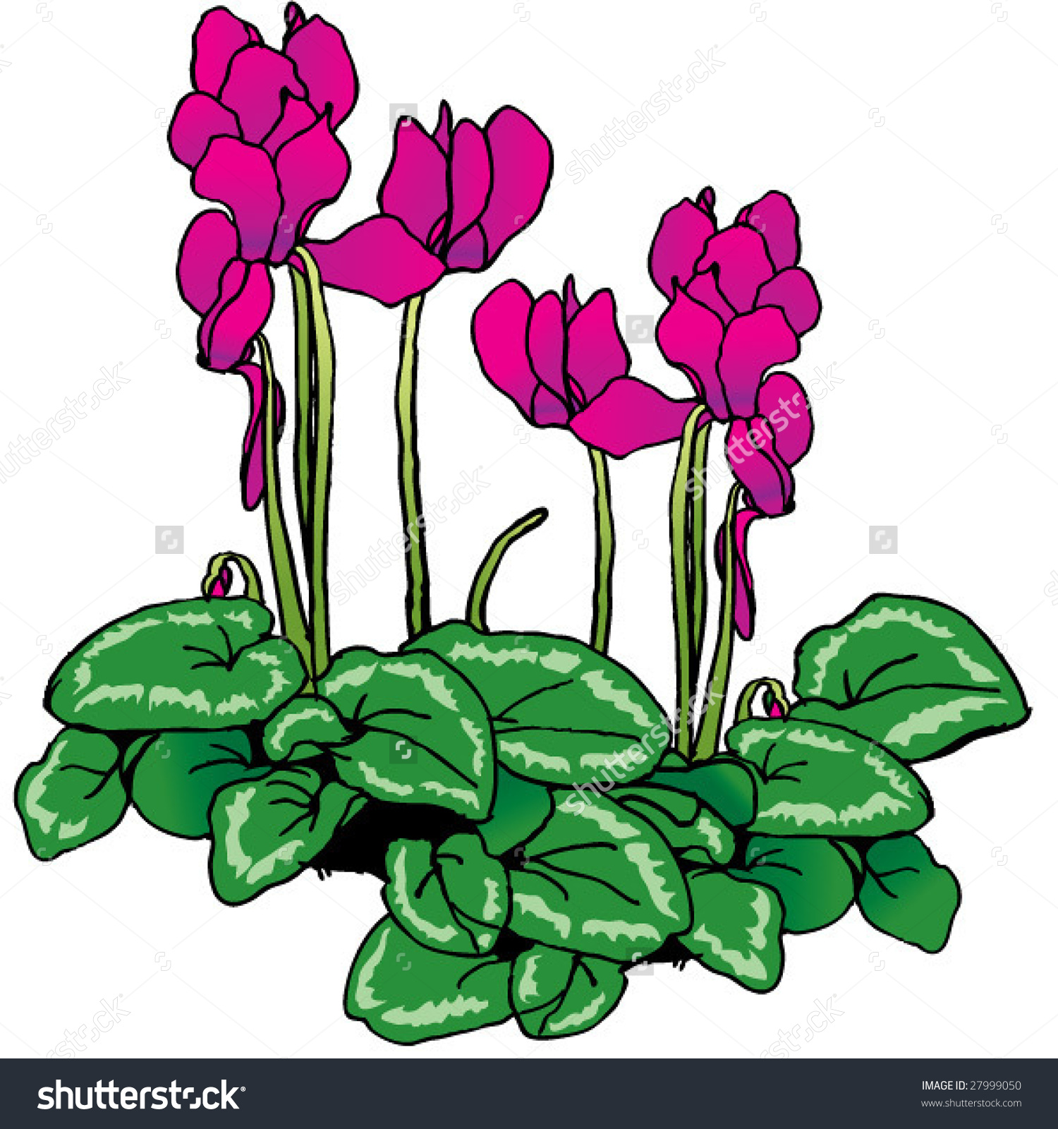 Cyclamen Stock Vector 27999050.