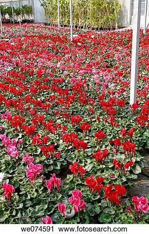 Stock Photography of Cyclamen (Cyclamen persicum) in garden center.