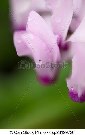 Stock Photo of Pink (purple) cyclamen flowers.