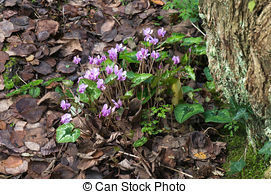 Stock Photography of Wild Cyclamen (Persicum) in full bloom.