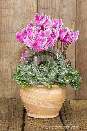 Cyclamen Persicum Flower Stock Photo.