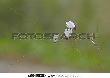 """Stock Photography of """"Persian Violets (Cyclamen persicum."""