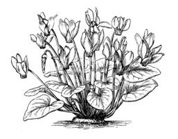 Antique Illustration of Cyclamen Persicum (persian Cyclamen) stock.
