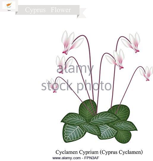 Cyclamen Persicum Stock Vector Images.