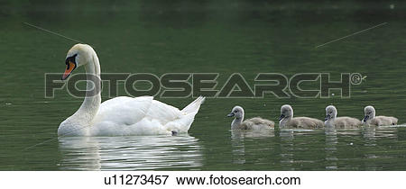 Picture of White swan with cygnets u11273457.