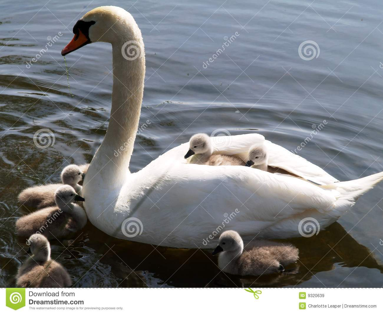Swan And Cygnets Royalty Free Stock Images.