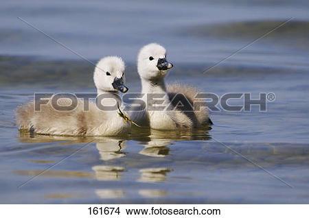 Stock Photo of Mute Swan.
