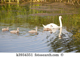 Cygnets Stock Illustrations. 41 cygnets clip art images and.