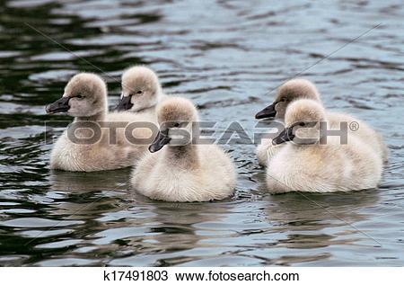 Stock Photo of Five Black Swan Cygnets k17491803.