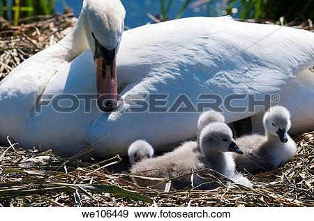 Stock Photograph of Female Mute Swan pen and her Cygnets on their.