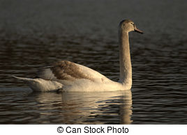 Clipart of mute swan and cygnets.
