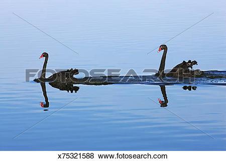 Pictures of Black swan (cygnus atratus) flock x75321588.