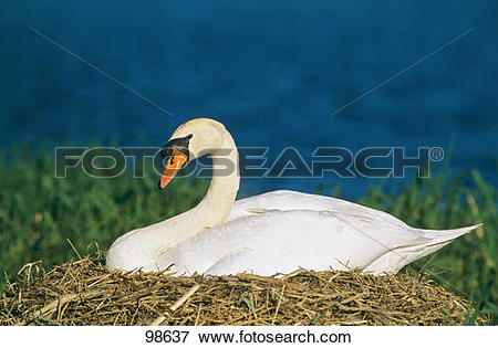 Picture of Mute Swan.