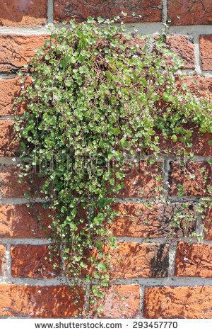 Kenilworth Ivy Stock Photos, Royalty.