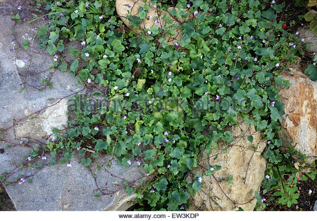 Kenilworth Ivy Cymbalaria Muralis Stock Photos & Kenilworth Ivy.