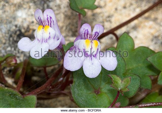 Cymbalaria Muralis Linaria Cymbalaria Stock Photos & Cymbalaria.