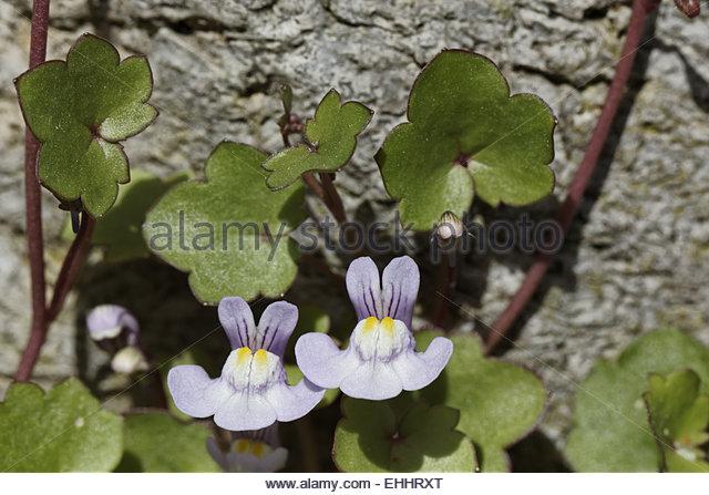 Cymbalaria Muralis Ivy Leaved Toadflax Kenilworth Stock Photos.