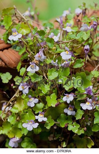 Kenilworth Ivy Cymbalaria Muralis Stock Photos & Kenilworth Ivy.