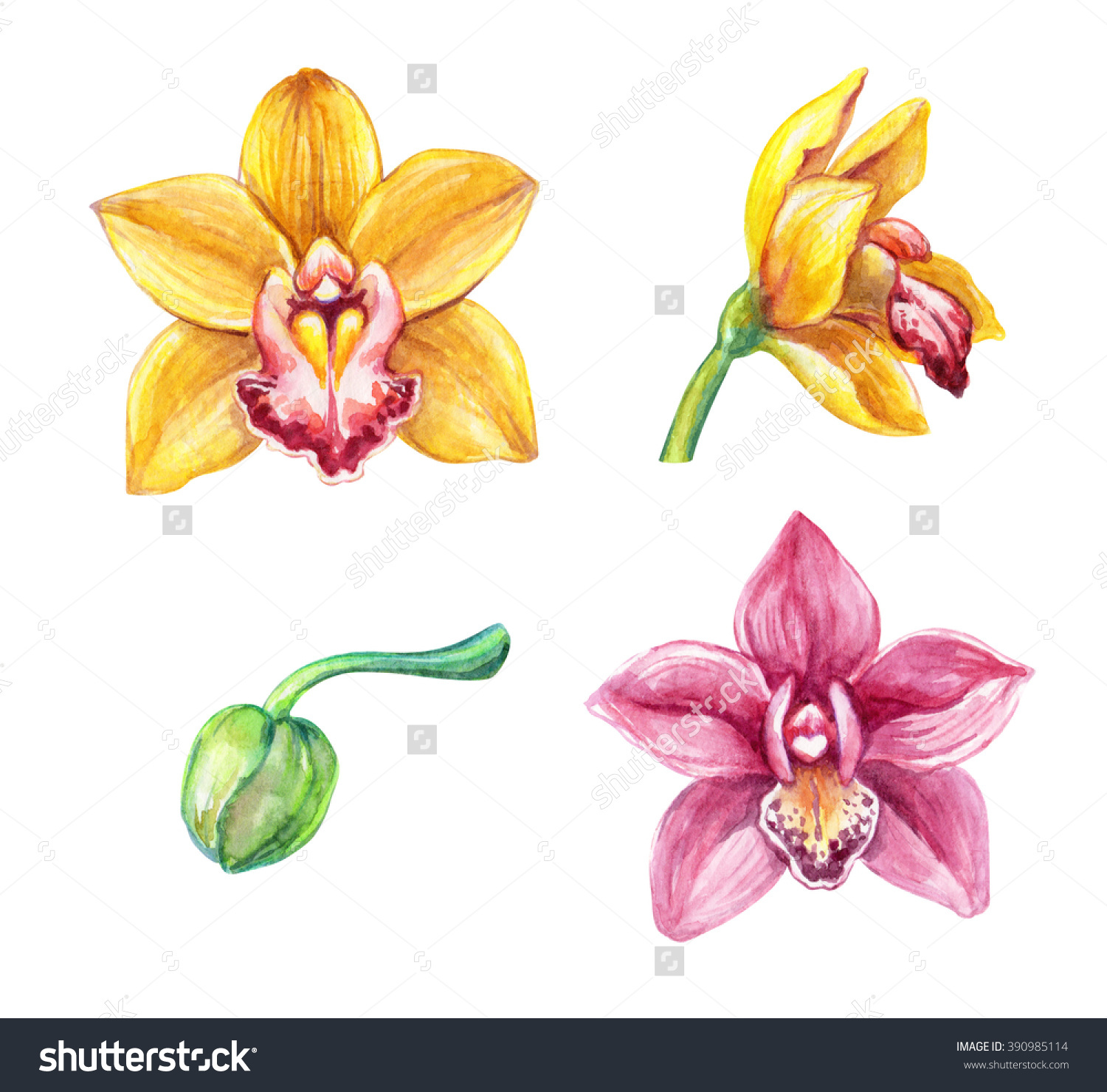 Watercolor Cymbidium Orchids Tropical Flowers Clip Stock.