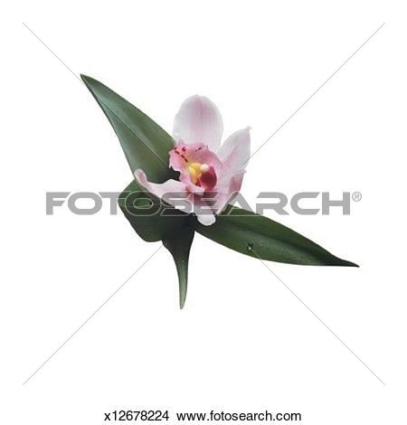 Stock Photo of Cymbidium Orchid x12678224.
