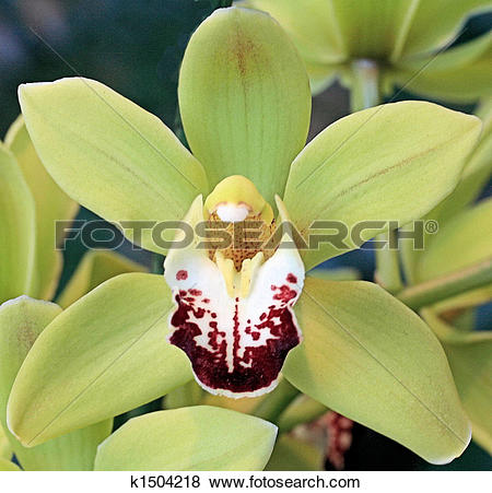 Pictures of Pale green Cymbidium orchid k1504218.