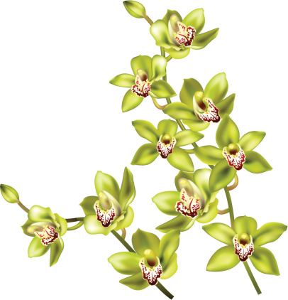 Cymbidium Clip Art, Vector Images & Illustrations.