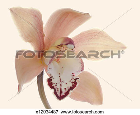 Picture of Studio shot of a single bloom Cymbidium Orchid on.