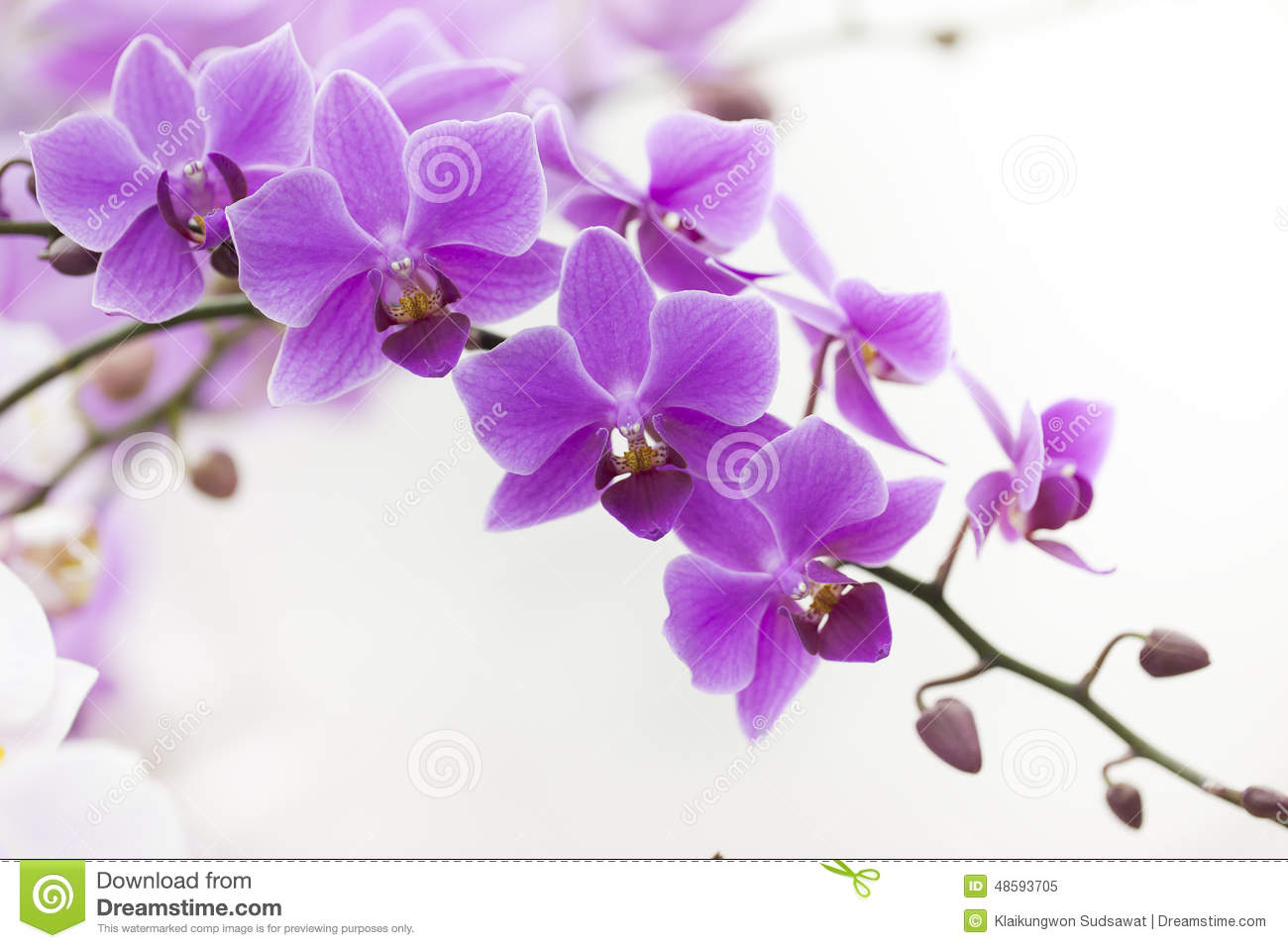 habrumalas: Purple Dendrobium Orchids Images.