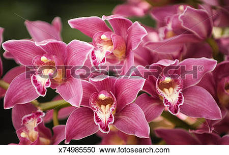 Stock Photography of Pink Cymbidium Orchid Flowers x74985550.