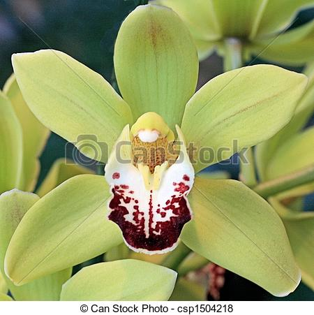Pictures of Pale green Cymbidium orchid csp1504218.