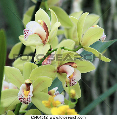 Stock Photo of Pale green cymbidium Orchid k3464512.