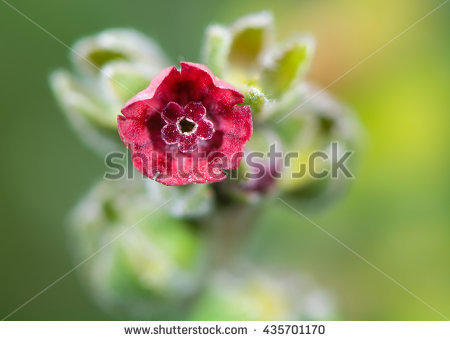 Cynoglossum Stock Photos, Royalty.