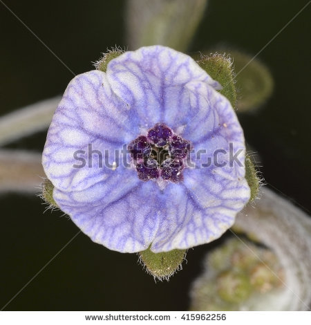Boraginaceae Stockfoto's, rechtenvrije afbeeldingen en vectoren.