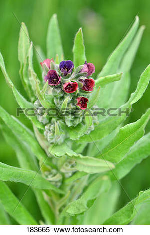Stock Image of Common Houndstongue (Cynoglossum officinale.