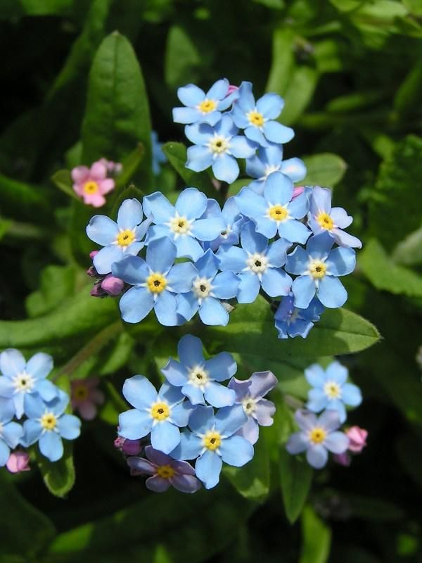 1000+ images about Forget Me Nots on Pinterest.