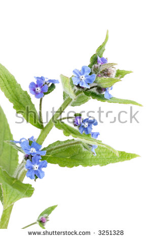 Forgetmenot Myosotis Arvensis Flower On White Stock Photo 55310026.