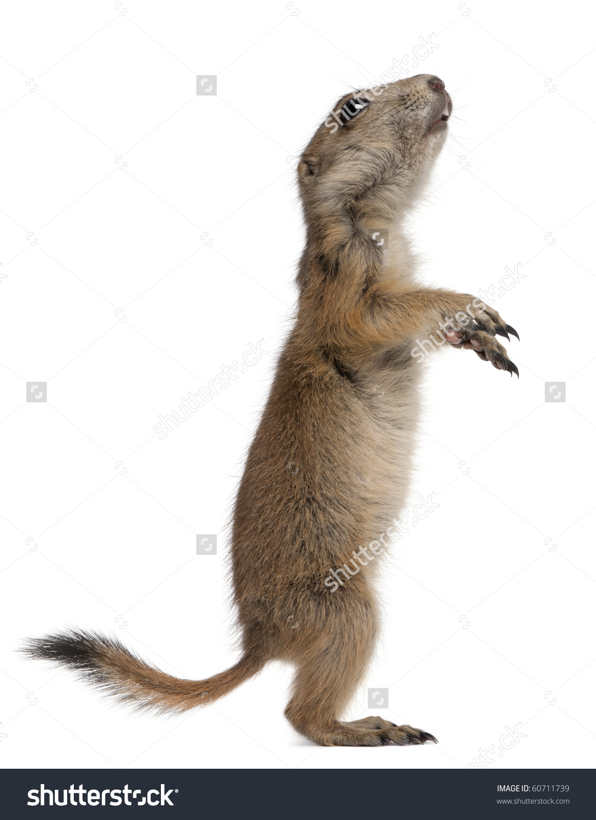 Blacktailed Prairie Dog Cynomys Ludovicianus Standing Stock Photo.