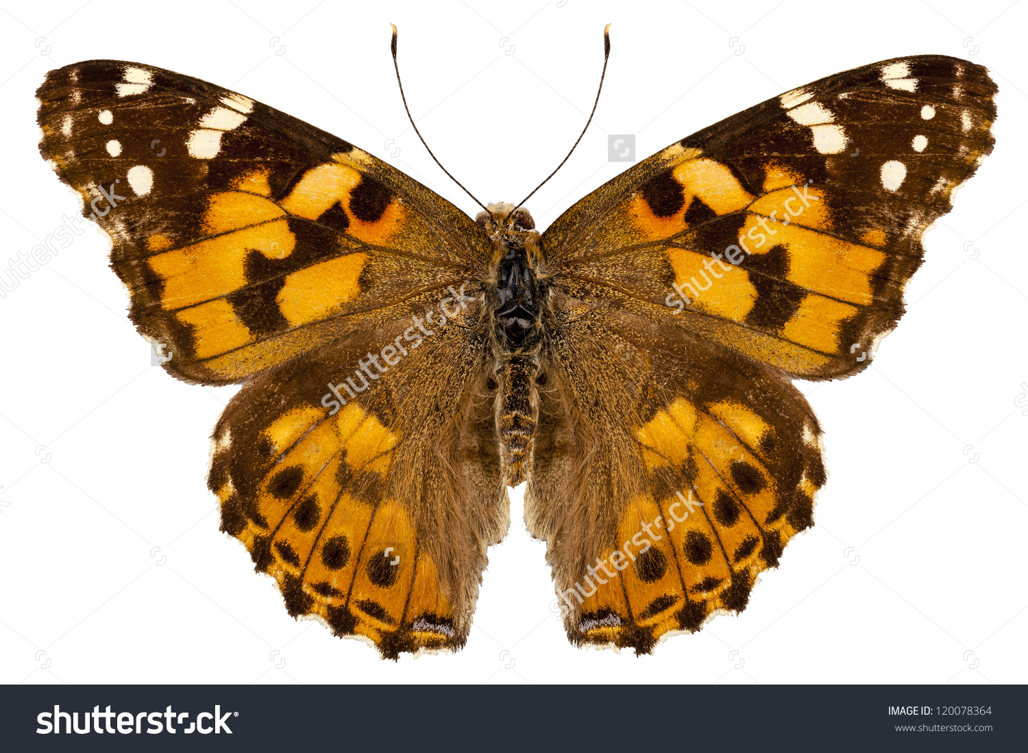 Butterfly Species Vanessa Cardui Painted Lady Stock Photo.
