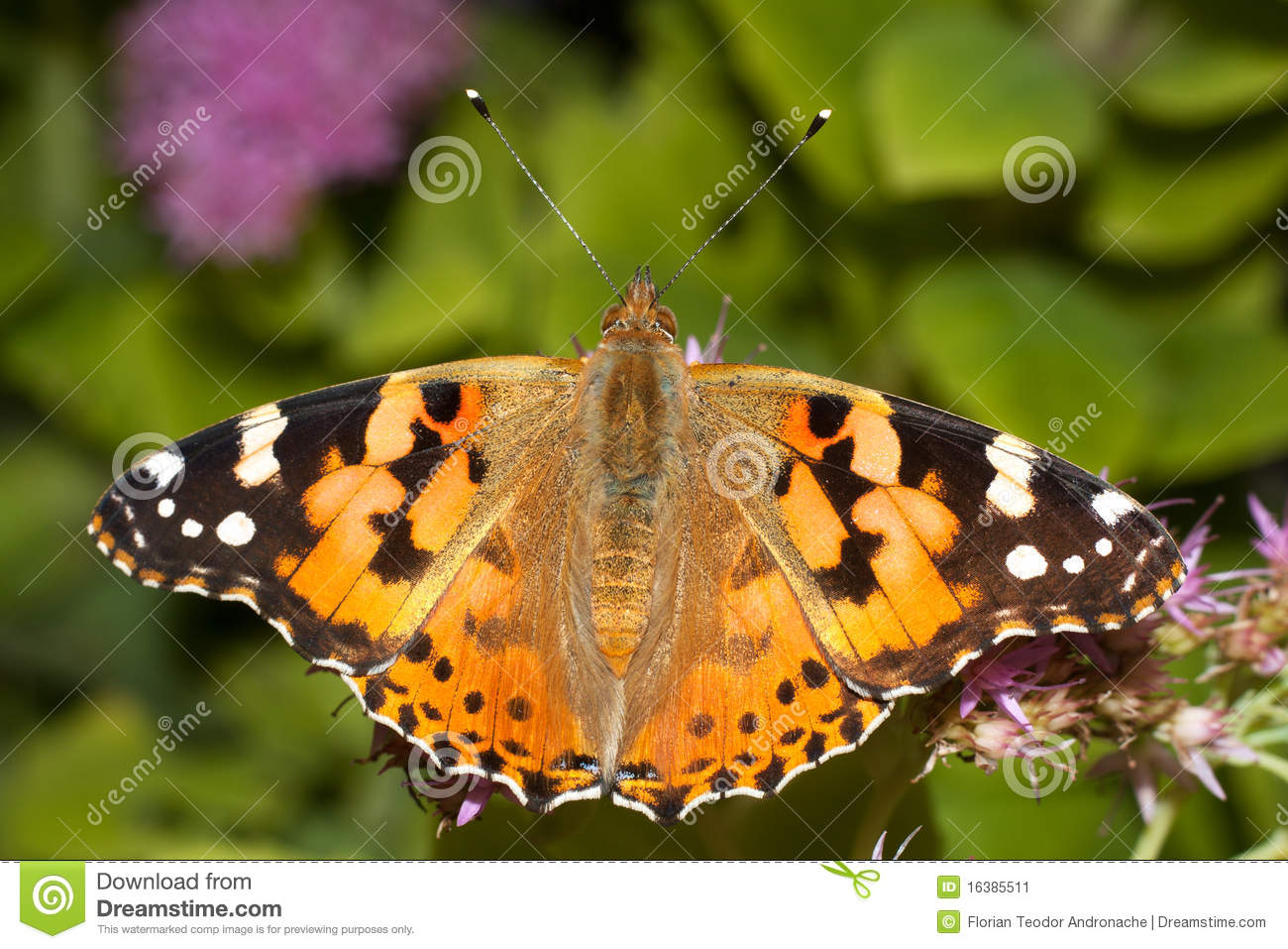 Painted Lady Butterfly, Vanessa Cardui Stock Image.